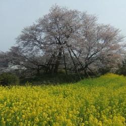 狩谷の下馬桜