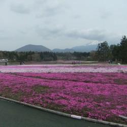 冨士桜祭り