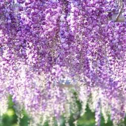 藤枝市の花