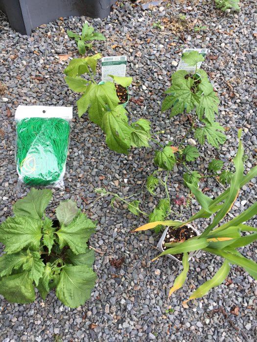 右下にトウモロコシの苗、右上に2つゴーヤの苗、その横に緑のネットがある。左下にシソの苗がある。
