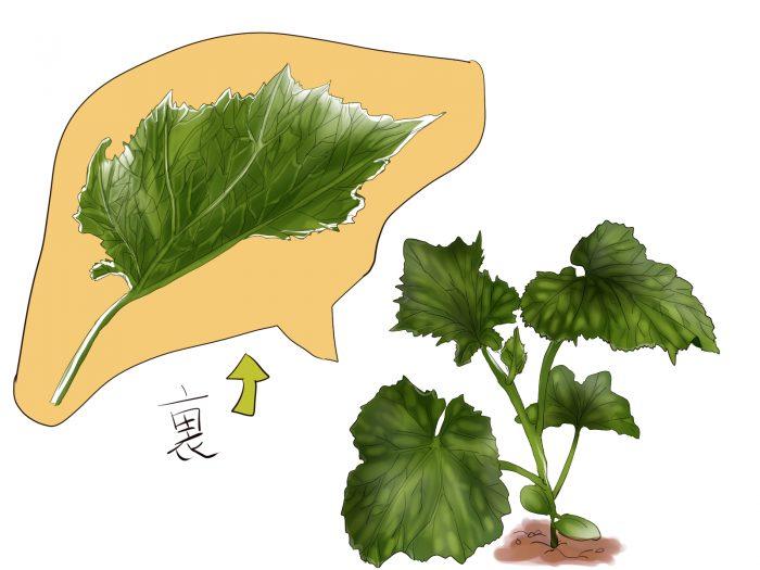 きゅうりの苗のイラスト。きゅうりの苗と、葉脈が描かれている。