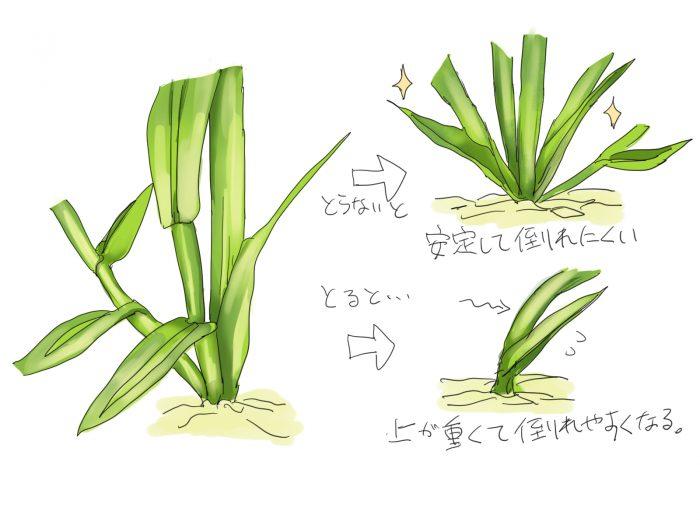 トウモロコシの脇芽を取った場合と取らない場合の図解。