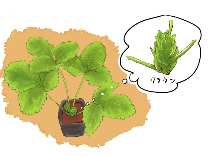 苺の苗のイラスト