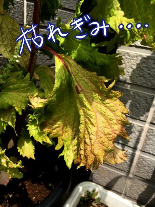 葉の色が変色しているシソの画像