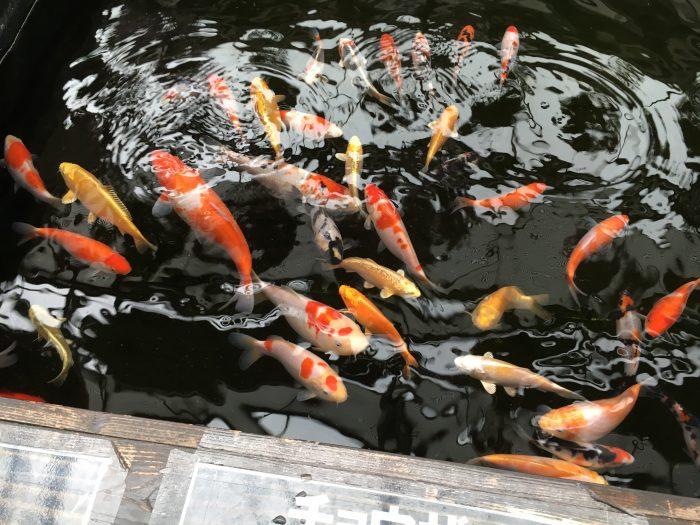 いけすに色とりどりの鯉がいる写真