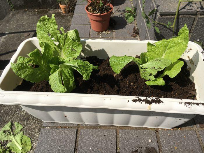 外の白菜の写真