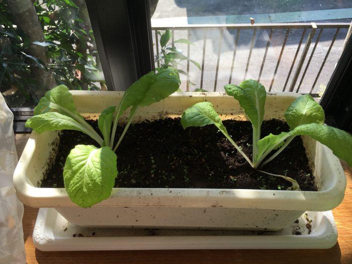 室内の白菜の写真