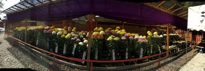 大輪菊の展示写真