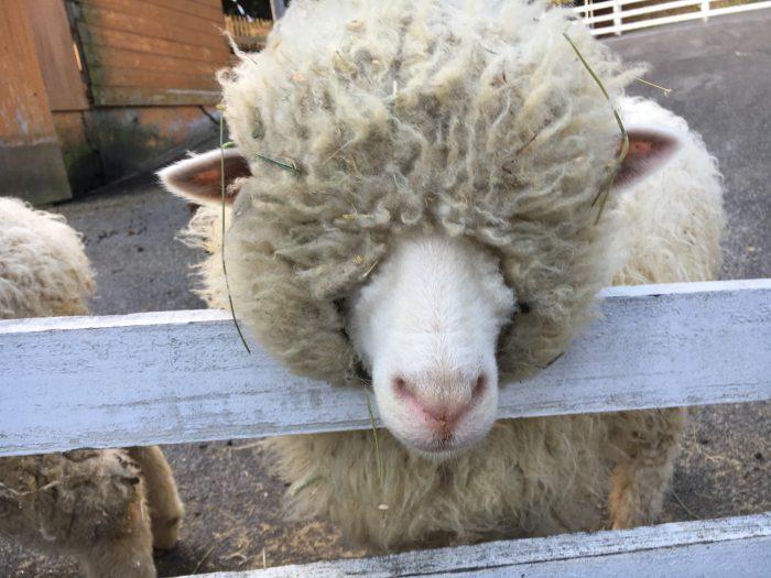 毛が多くて目がくれている羊の写真