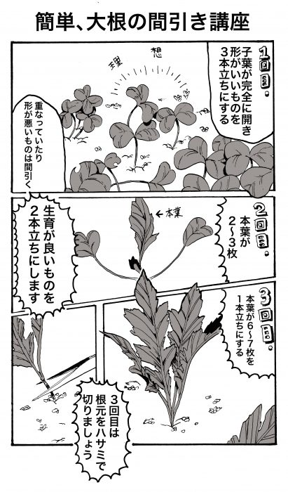 大根の間引き漫画