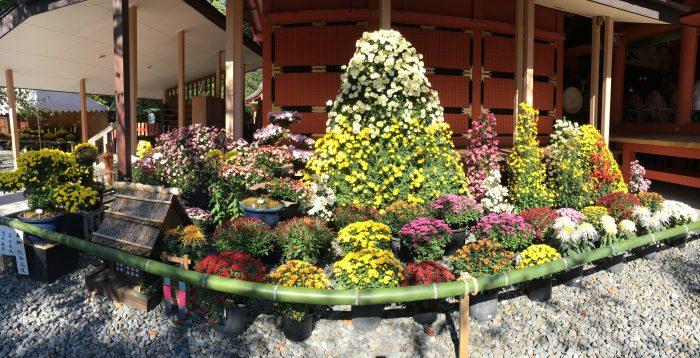 菊の展示写真