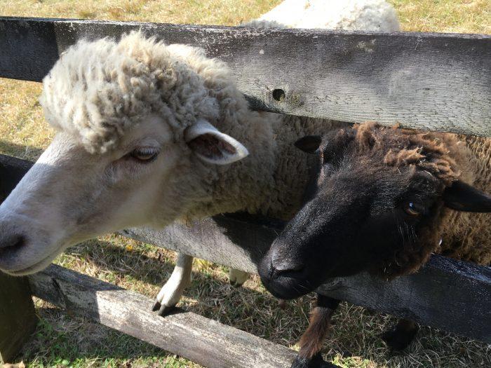 柵から顔をだす羊の写真