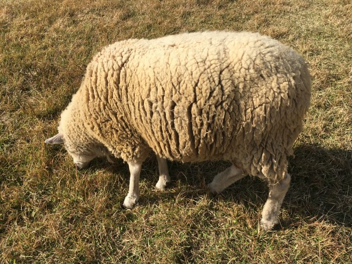 白い羊の写真