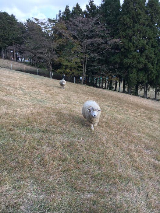 寄ってくる羊の写真