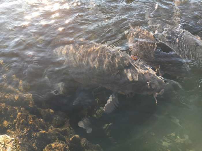 大きい鯉の写真