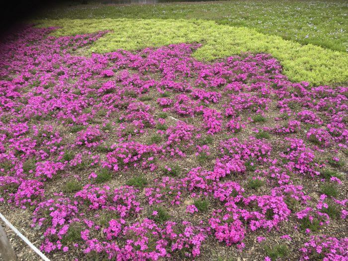 芝桜の写真