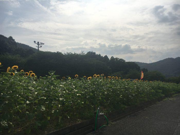 ひまわり垣の写真