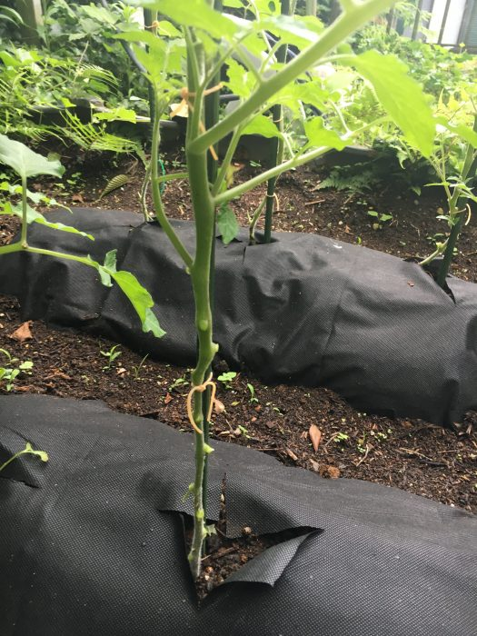 トマトの苗を固定している写真