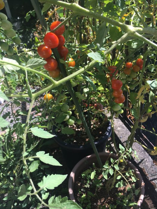 トマトの実の写真