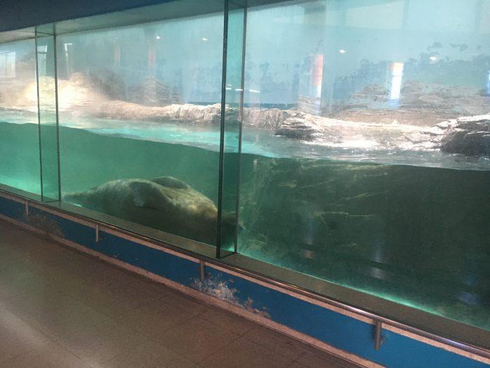 セイウチの泳いでいる写真