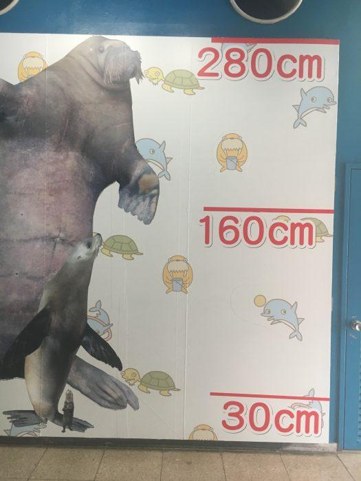 セイウチの身長写真