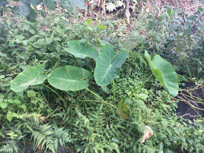 雑草が周りに生えている状態の里芋の写真