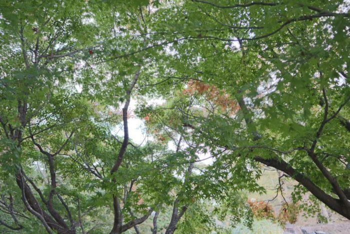 緑色の紅葉の写真