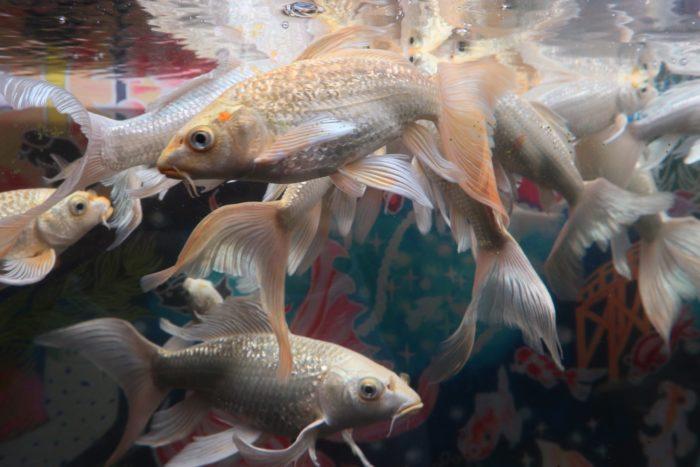 黄金の金魚の写真