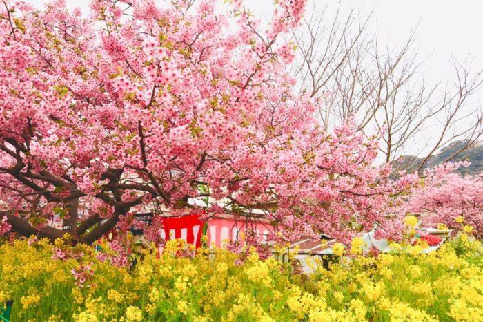 河津桜と菜ばなの写真