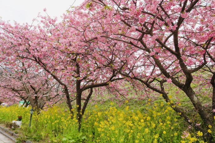 桜と菜ばなの写真