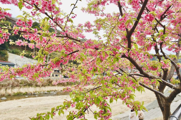 葉がついている桜の木の写真